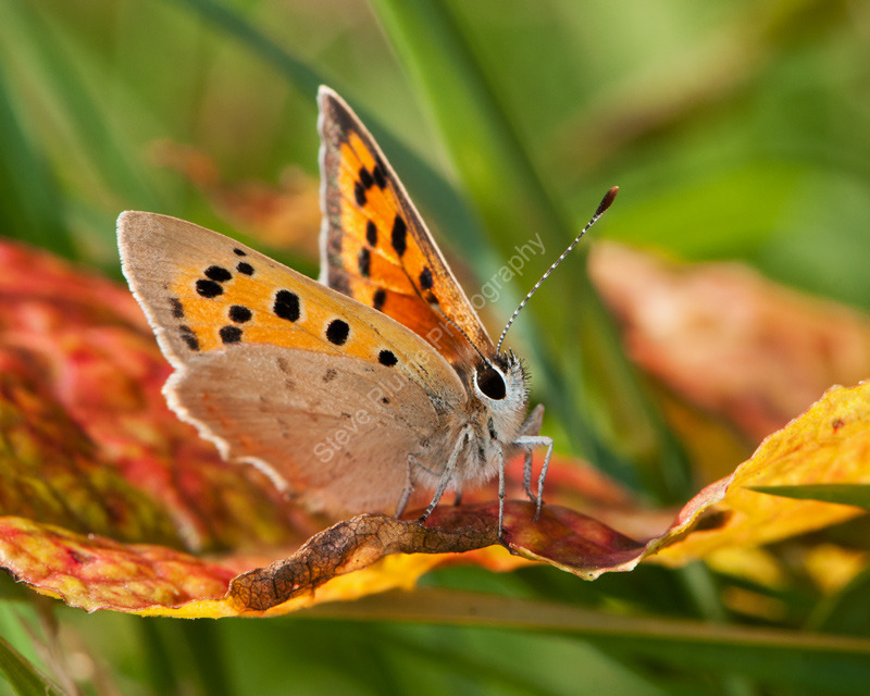 Small Copper on doc leaf