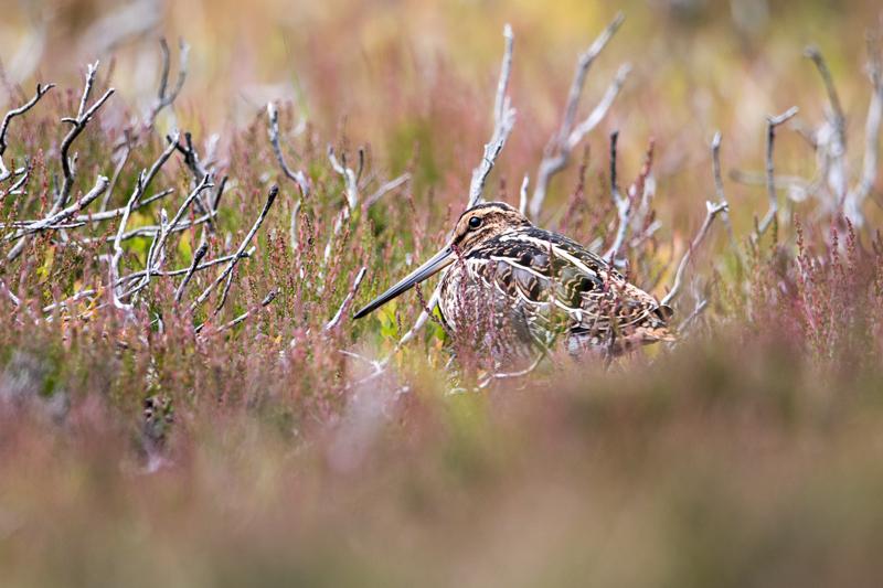 Snipe hiding in heather
