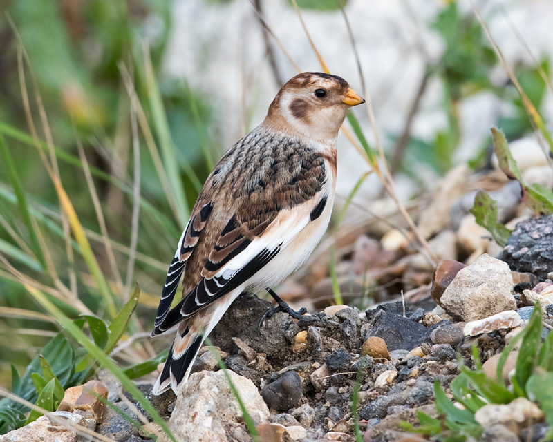 1st Snow Bunting of the winter