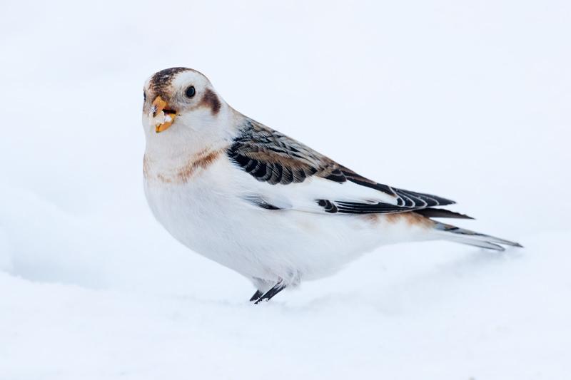 Snow Bunting on snow