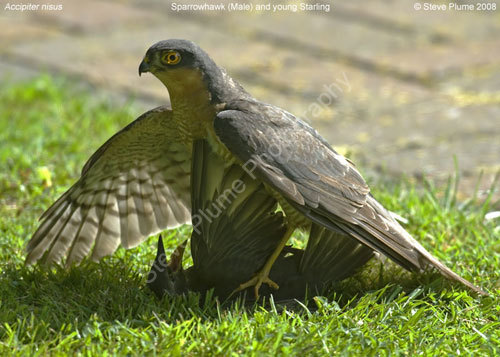 Sparrowhawk & Juv Starling