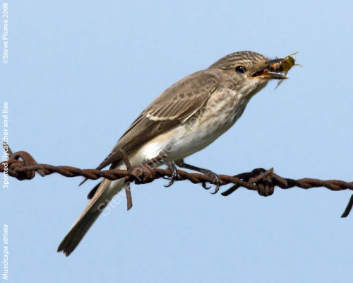 Spotted Flycatcher and bee