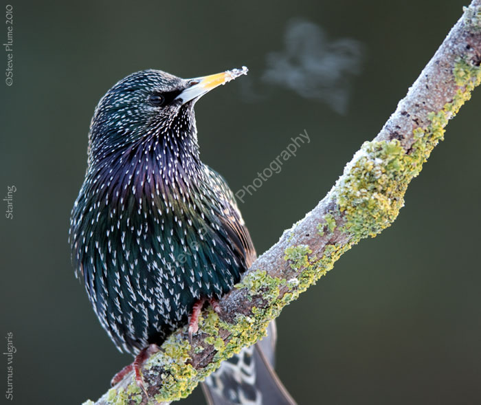 Starling exhale