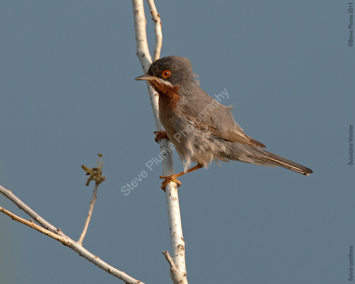 Male Subalpine Warbler