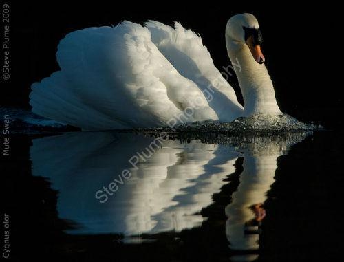 sunrise mute swan