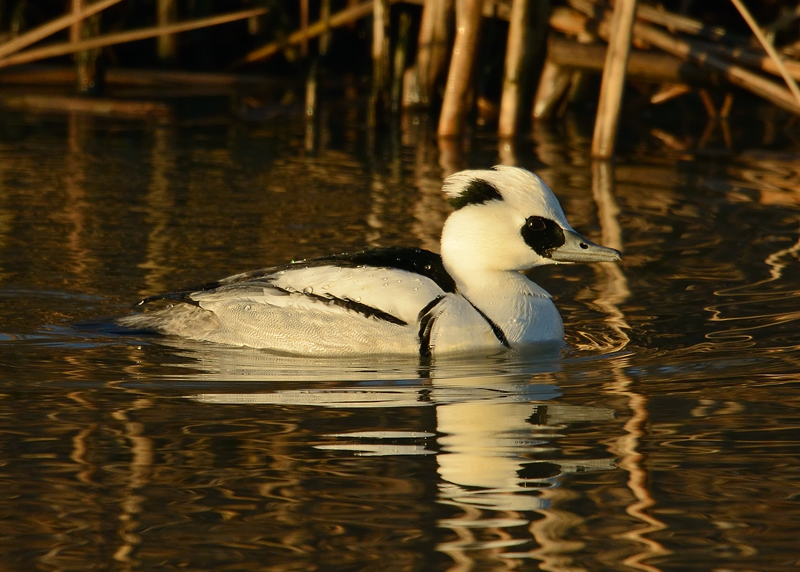 Sunrise Smew