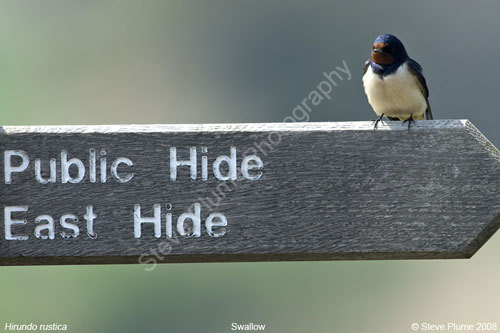 Swallow on a sign