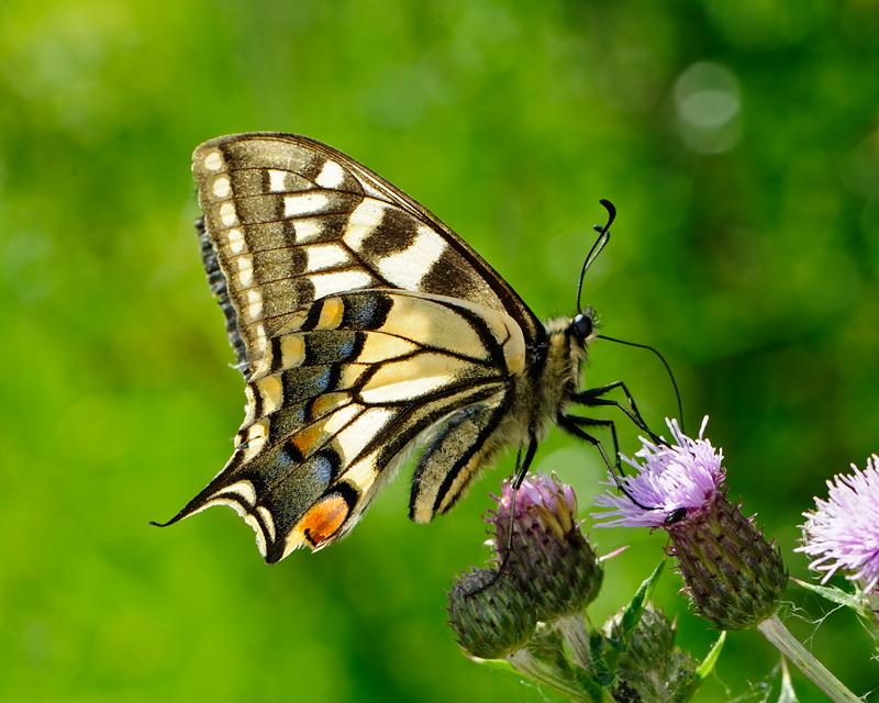 Female Swallowtail