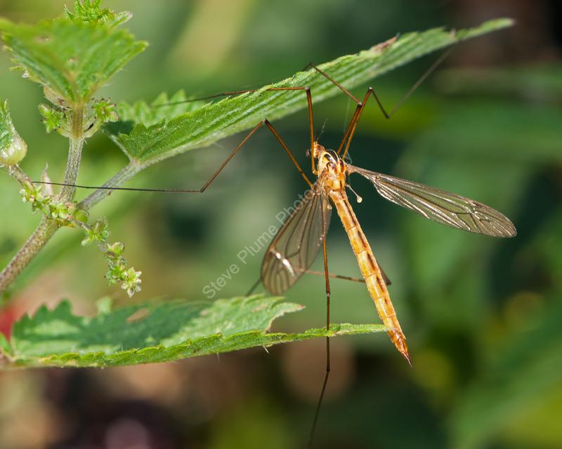 Tiger Cranefly