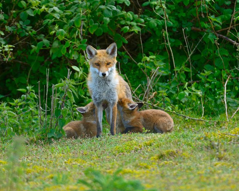 Red Fox Vixen feeding Cubs
