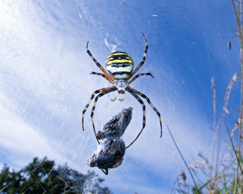 Wasp Spider and prey