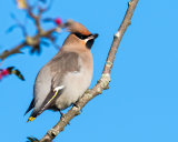 1st Waxwing