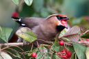 Last Waxwing this winter