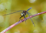 White-faced Darter