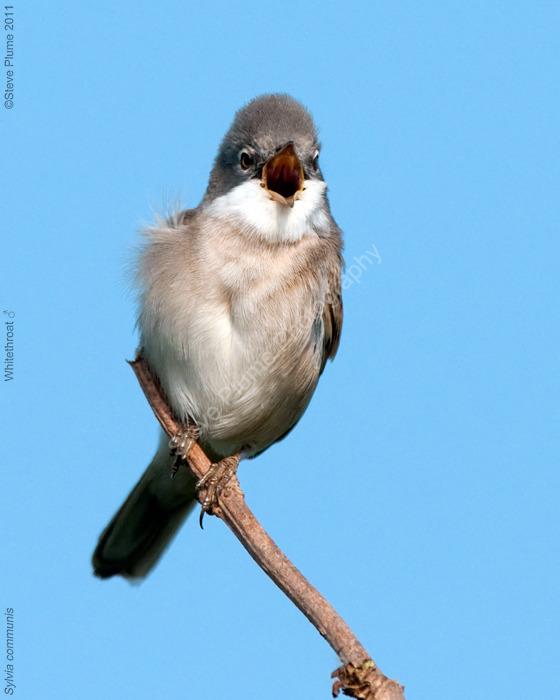 Whitethroat male