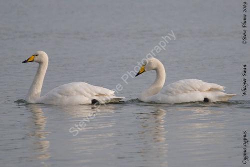 Pair of Whooper swans