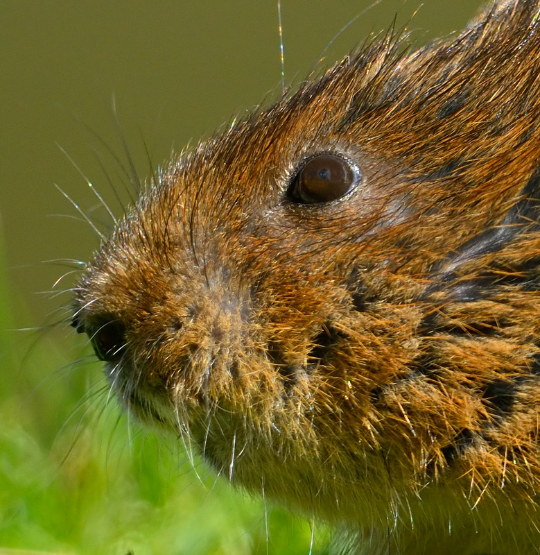 Business end of a Water Vole