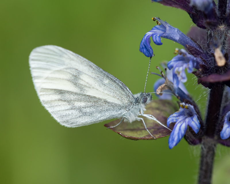Wood White feeding