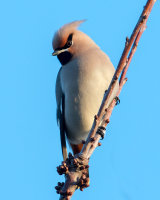 Waxwing male