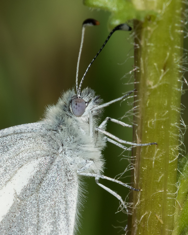 Ul close with a Wood White