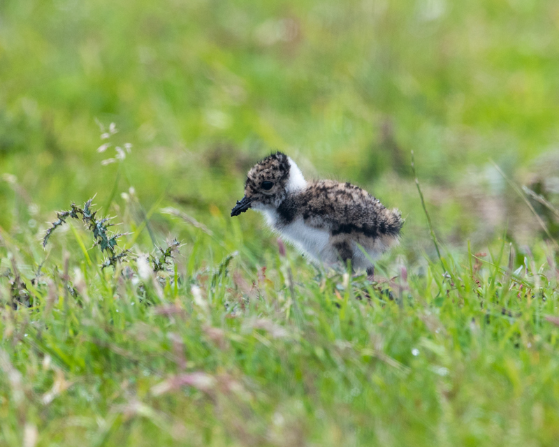 Very young Lapwing chick