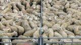 saleyard sheep
