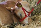 tired Jersey calf
