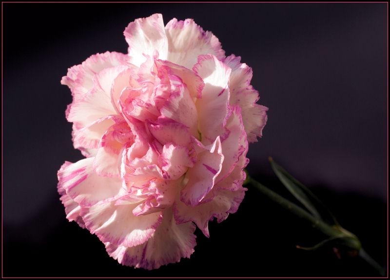 Carnation (2)