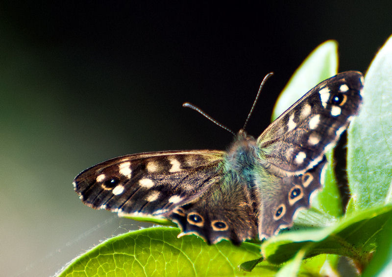 Speckled Wood Butterfly 2