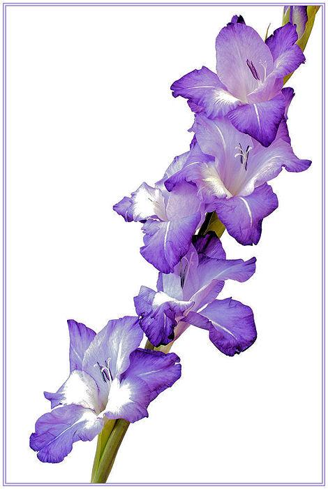 Gladioli (3)