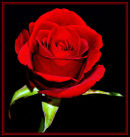 Red Rose (3)