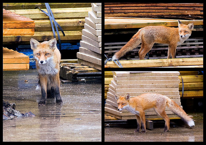 The Urban Fox