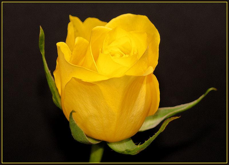 Yellow Rose (2)