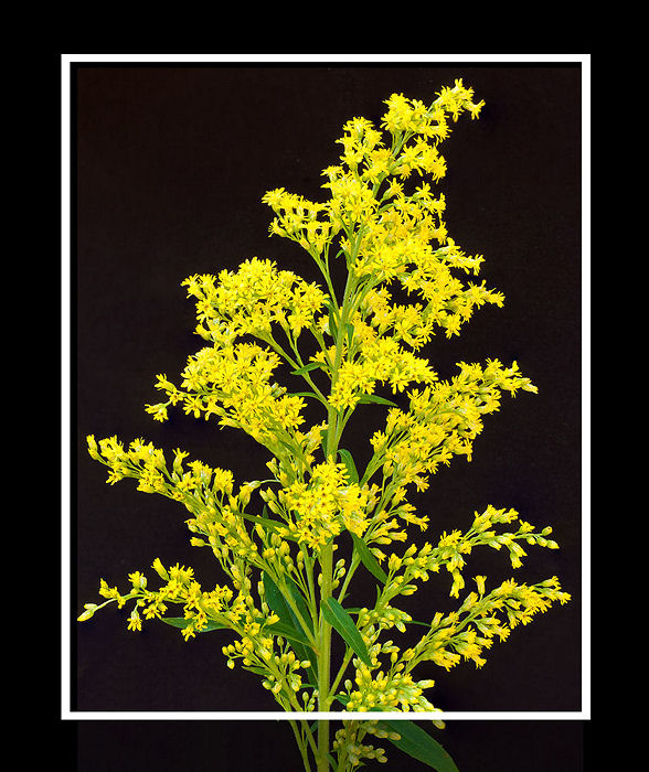 Yellow on Black (3)
