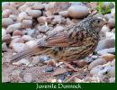 Juvenile Dunnock