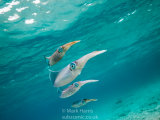 Reef Squid Group