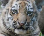 Vladamir the tiger cub in 2009
