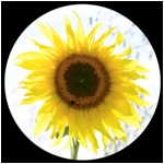 Sunflower (circular)