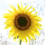 Sunflower (square)