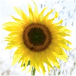 Sunflower (rectangle)