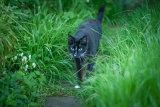 Siamese Cat 1