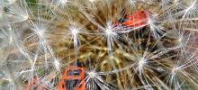 Fire Bugs on a Dandelion