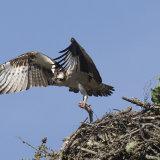 Osprey- Cairngorms