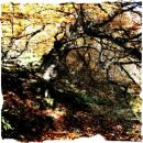 Autumn beech, Big Burn, Golspie