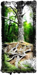 Caledonian pine, Glen Affric