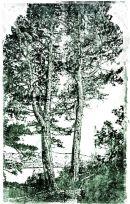 Inverewe pines