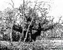 Major Oak and three birches
