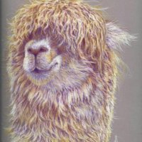 Alpaca in coloured pencils