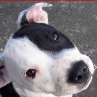 Staffy pup photo PMP photo ref