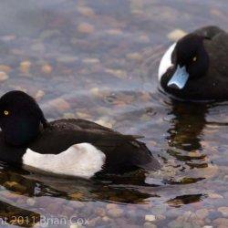 20110105-IMG 0248-Male Tufted Ducks